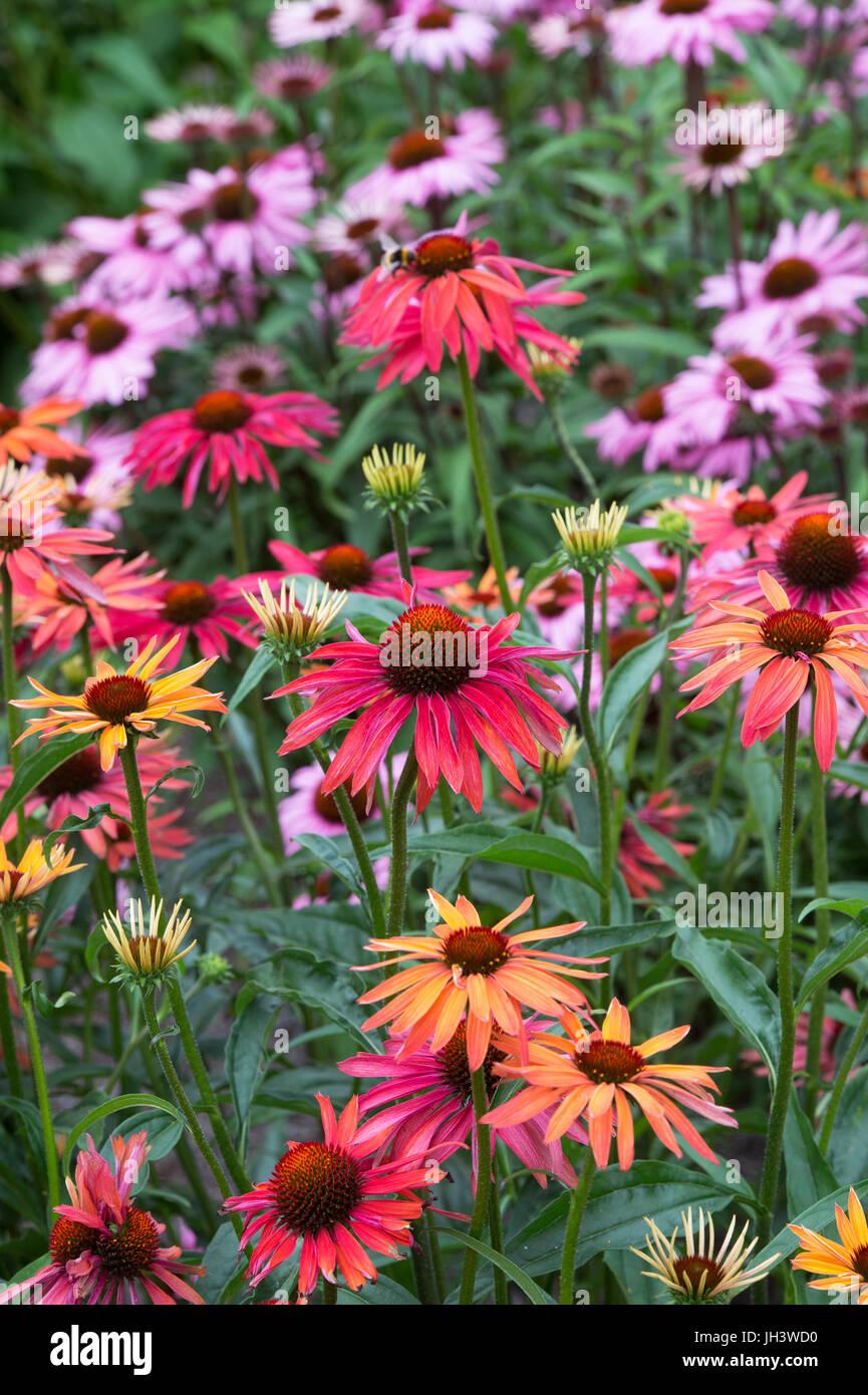 Echinacea 'Hot summer'. Coneflower - Stock Image
