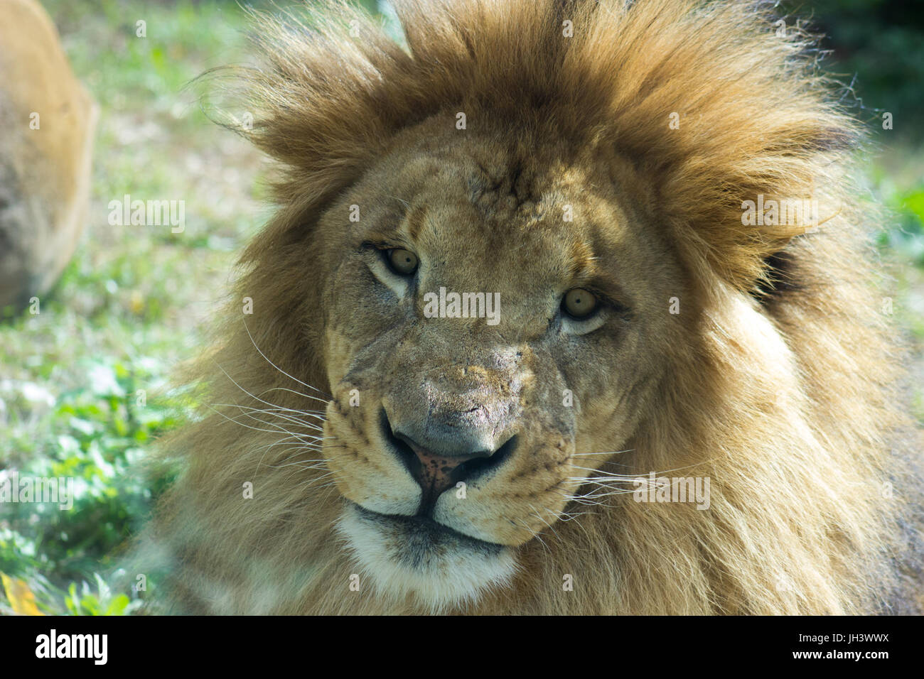 A lion snarls. - Stock Image