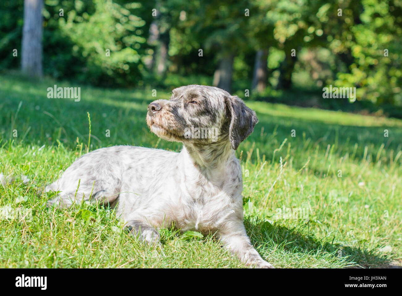 Dog lying on the grass in the park and looking aside with squeezed eyes shut. Selective focus. - Stock Image