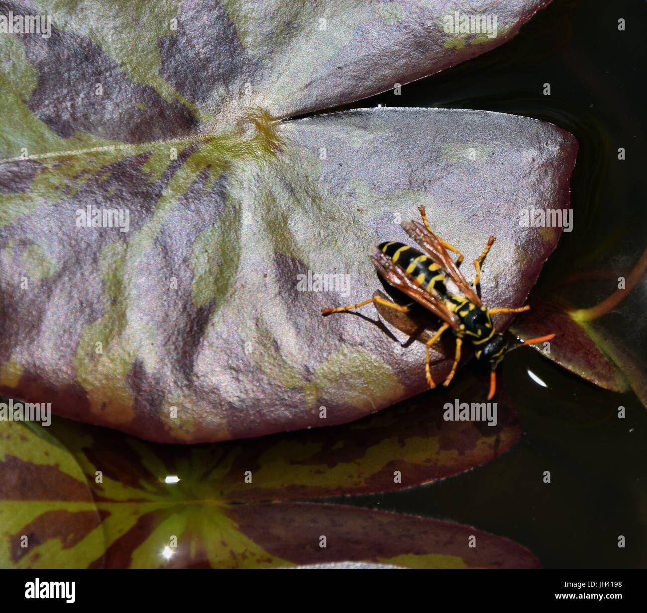wasp on a leave in a garden Pond, wasp drink water - Stock Image