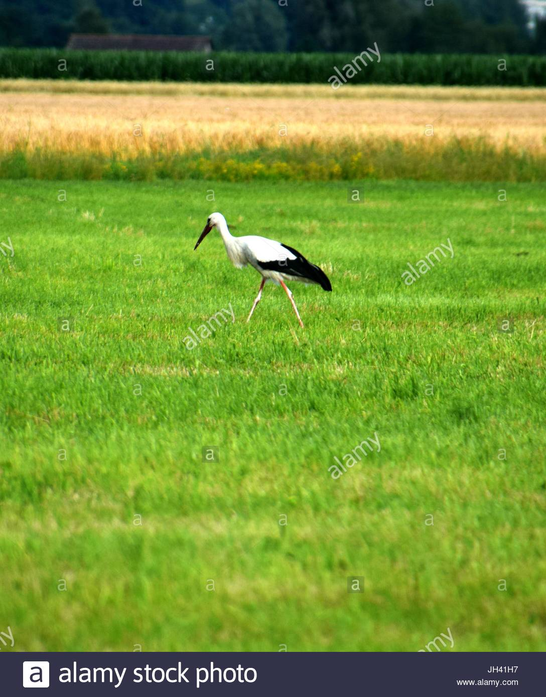 stork on the meadow - Stock Image