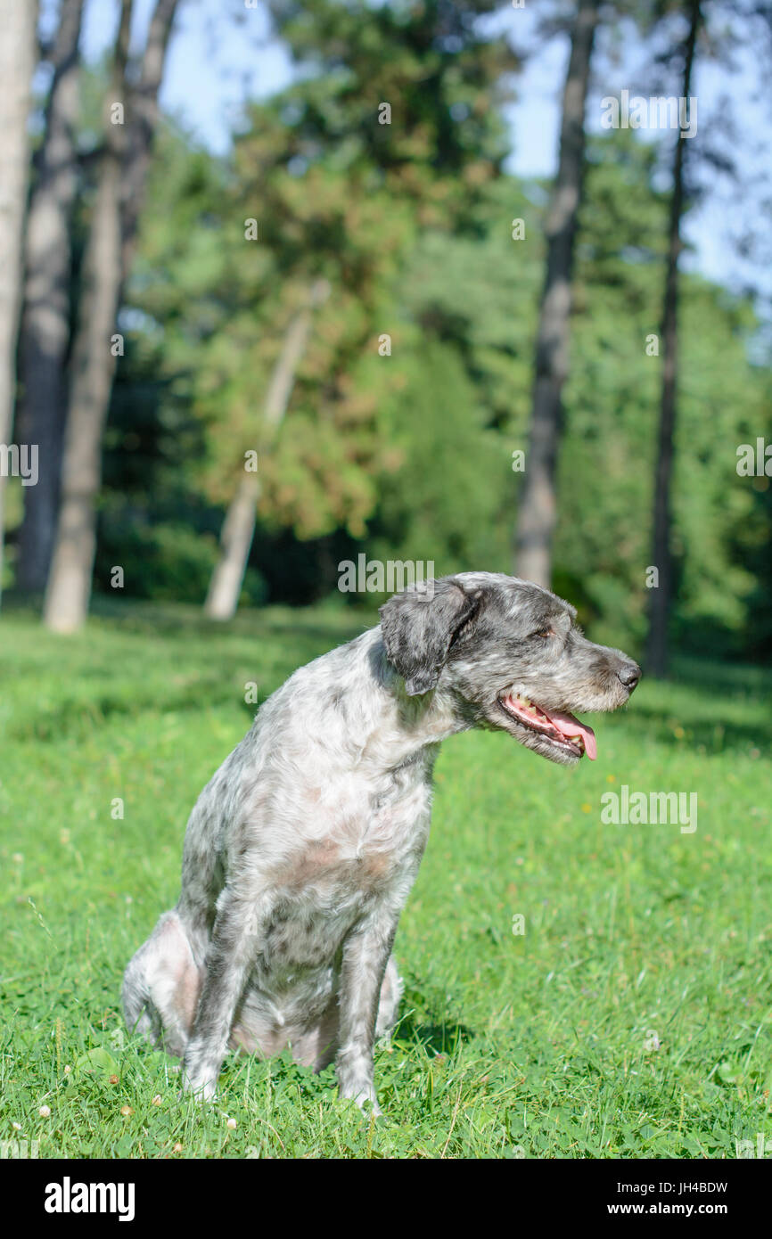 Mixed-breed dog is sitting on the meadow and panting. It's a hot summer day. Selective focus. - Stock Image