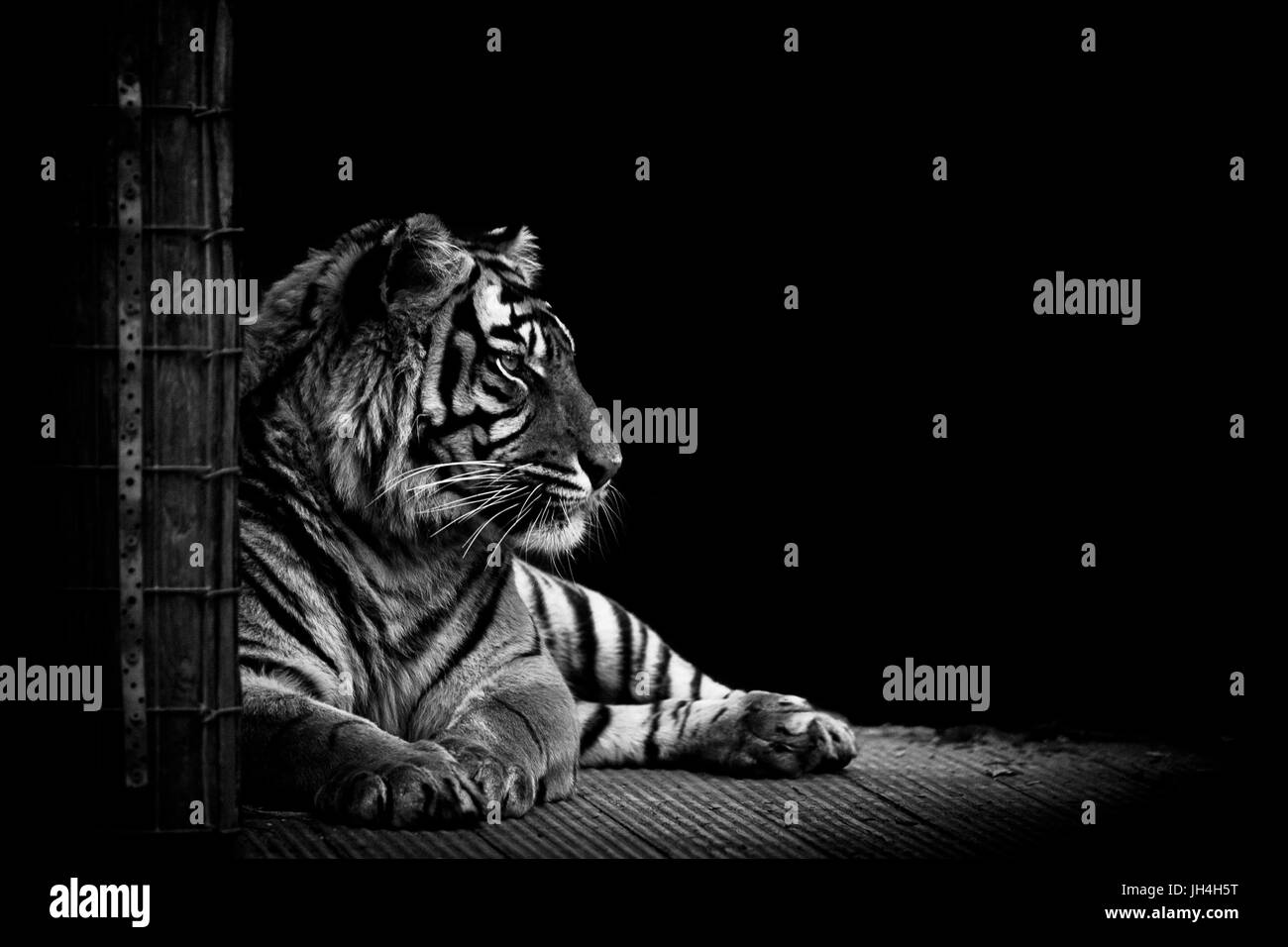 Tiger in black and white - Stock Image