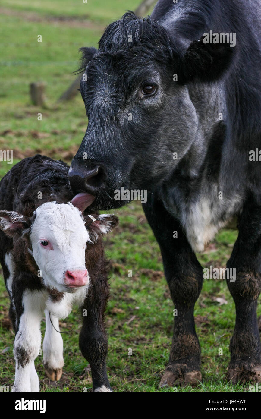 Mother cow with her calf in a field on the farm.  Taken in upright format. - Stock Image