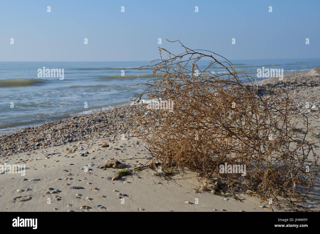 Tumbleweed in the sea coast - Stock Image