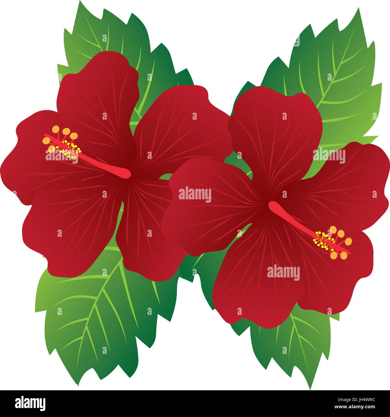 Malaysia National Flower Red Hibiscus flowers with leaves color ...