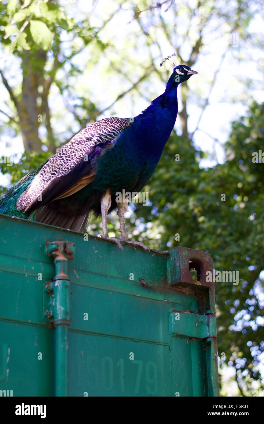 Peacock on a shipping container, Aldenham Country Park - Stock Image