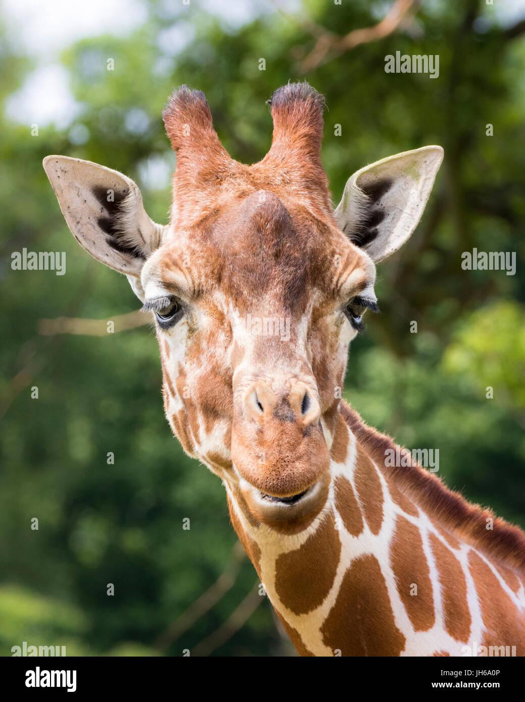 giraffe head Stock Photo