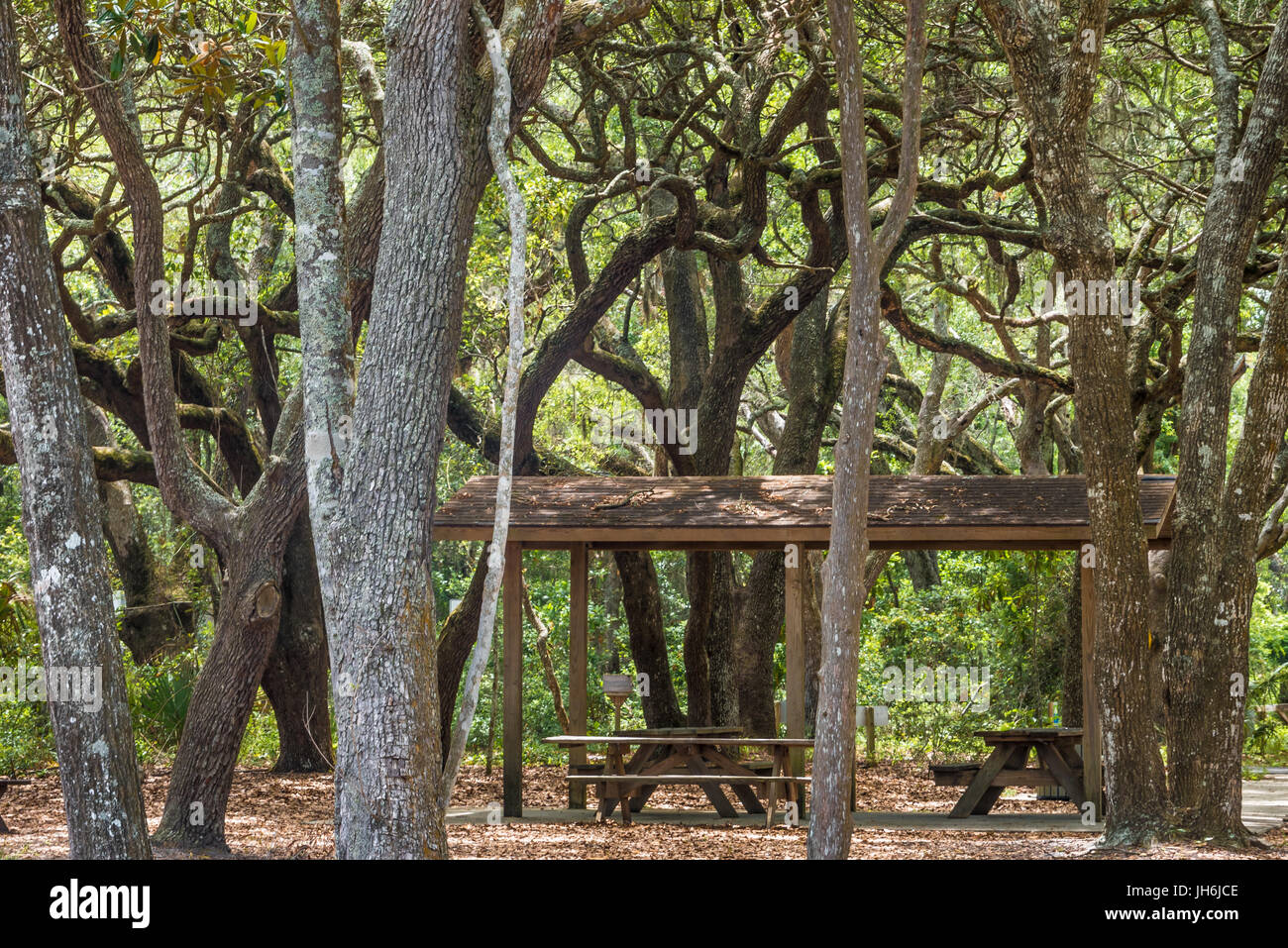 Covered picnic shelter under a canopy of twisting oaks above Boneyard Beach at Big Talbot Island State Park in Northeast - Stock Image