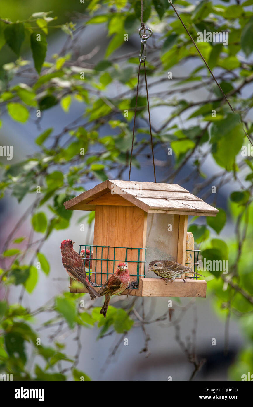 Male and female Purple Finches, Haemorhous purpureus, eat sunflower seeds from a hanging backyard birdfeeder in - Stock Image