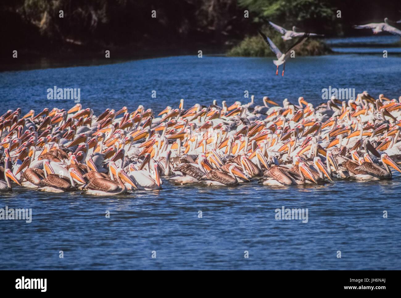 Great White Pelican or Rosy Pelican or White Pelican, (Pelecanus onocrotalus), Keoladeo Ghana National Park, Bharatpur, - Stock Image