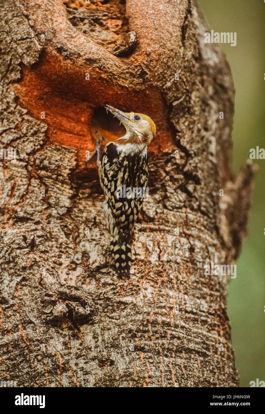 female Yellow-crowned woodpecker/Mahratta woodpecker, (Leiopicus mahrattensis),at nest hole, Keoladeo Ghana National - Stock Image