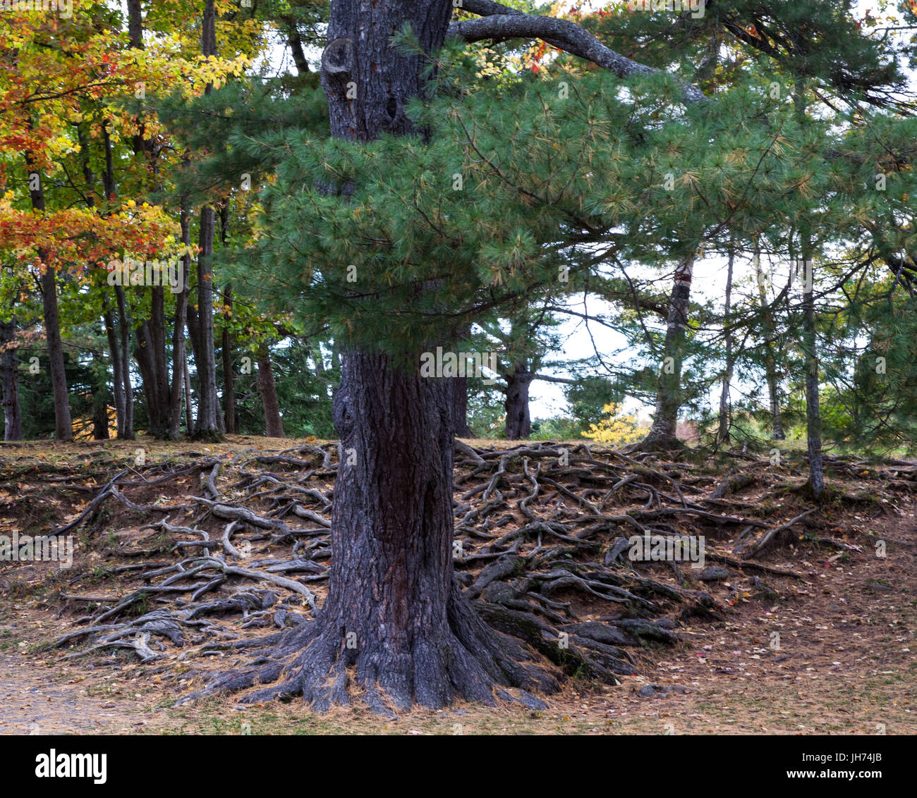 Large evergreen tree with intricate pattern of above ground roots - Stock Image