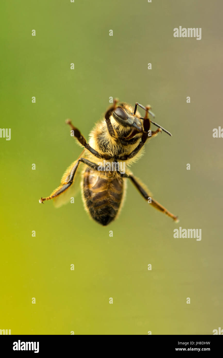 Single British Honey Bee (Apis) depicted close up through glass transparency, isolated against background - Stock Image