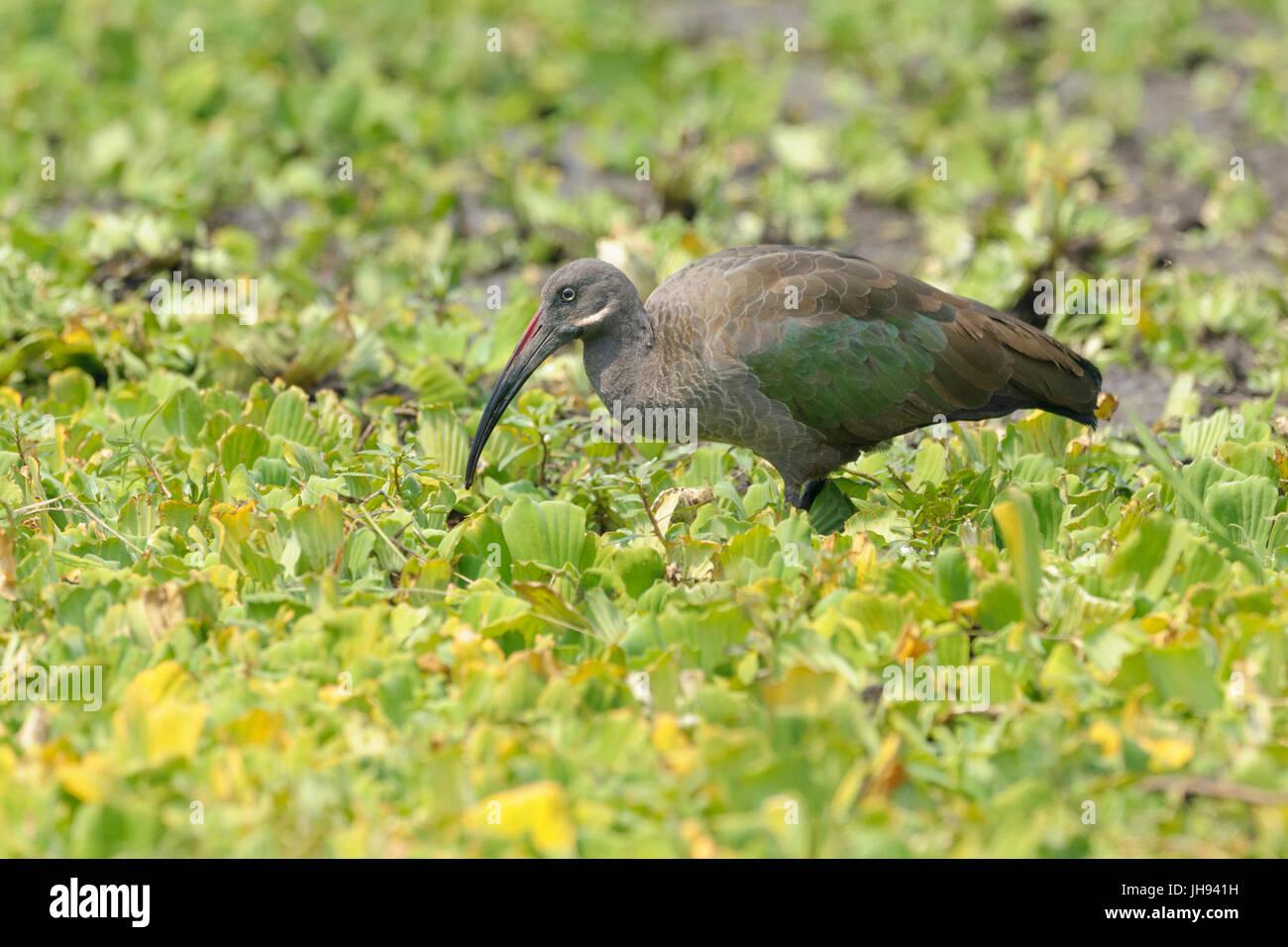 Hadada ibis (Bostrychia hagedash) foraging on water plants, Serengeti National Park, Tanzania. - Stock Image