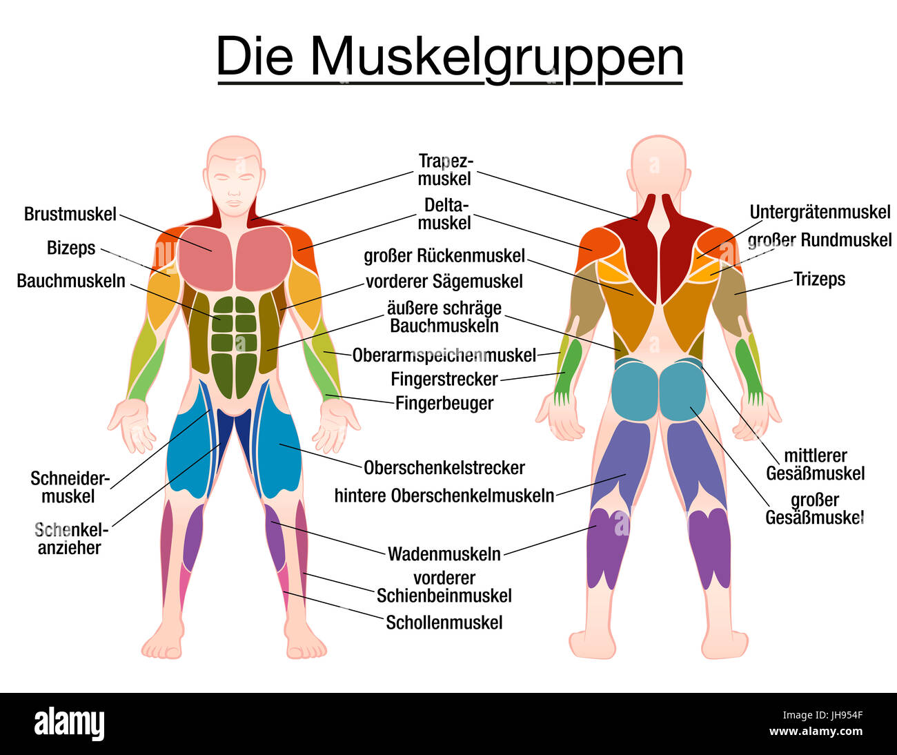 Muscle chart german labeling most important muscles of the human muscle chart german labeling most important muscles of the human body colored front and back view ccuart Choice Image