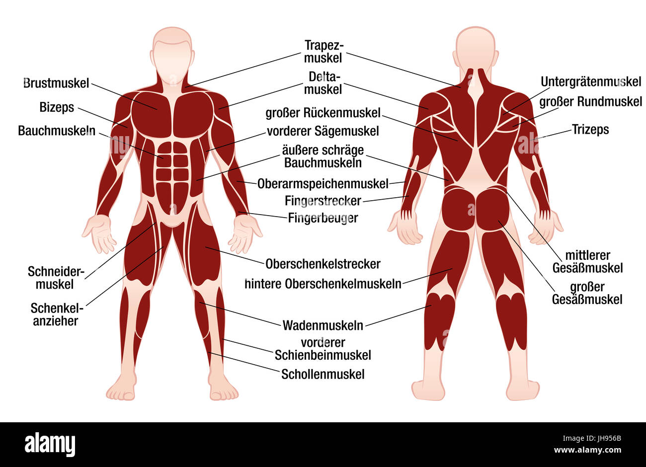 Muscle chart with german description of the most important muscles ...