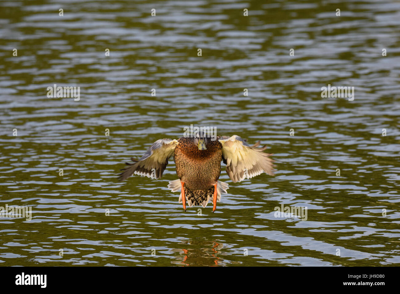 Female mallard duck with wings out stretched coming into land on a lake Stock Photo