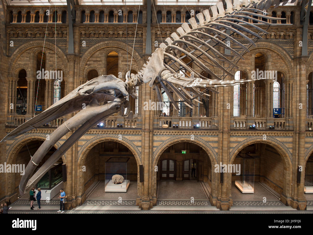 Natural History Museum , London, UK. 13th July, 2017. The Natural History Museum unveils the new star of its reimagined Stock Photo