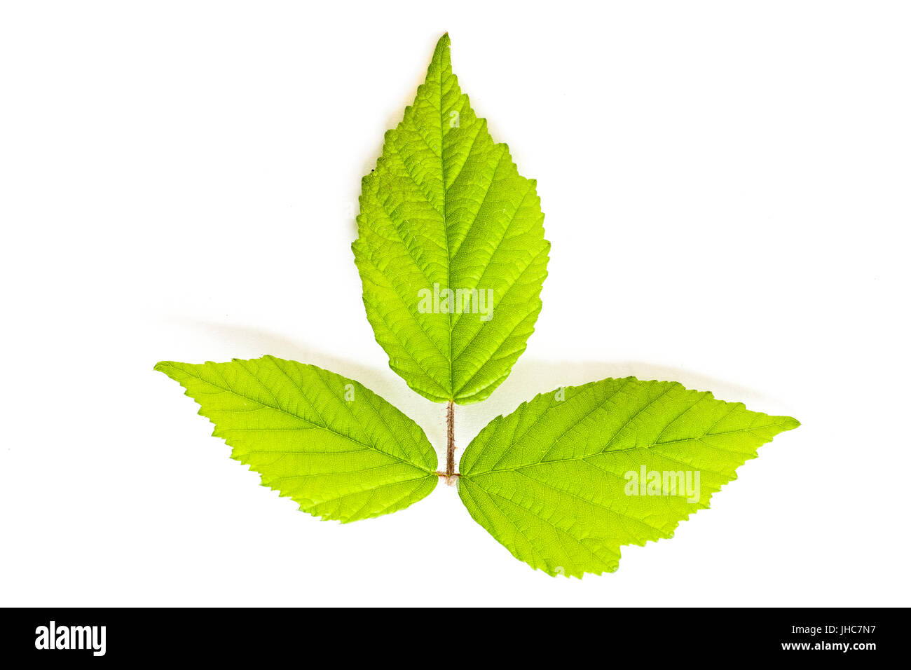 trio of green leaves on - Stock Image
