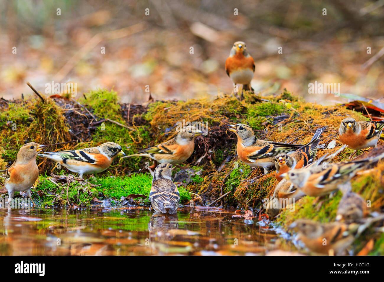 Wild birds among autumn fallen leaves - Stock Image