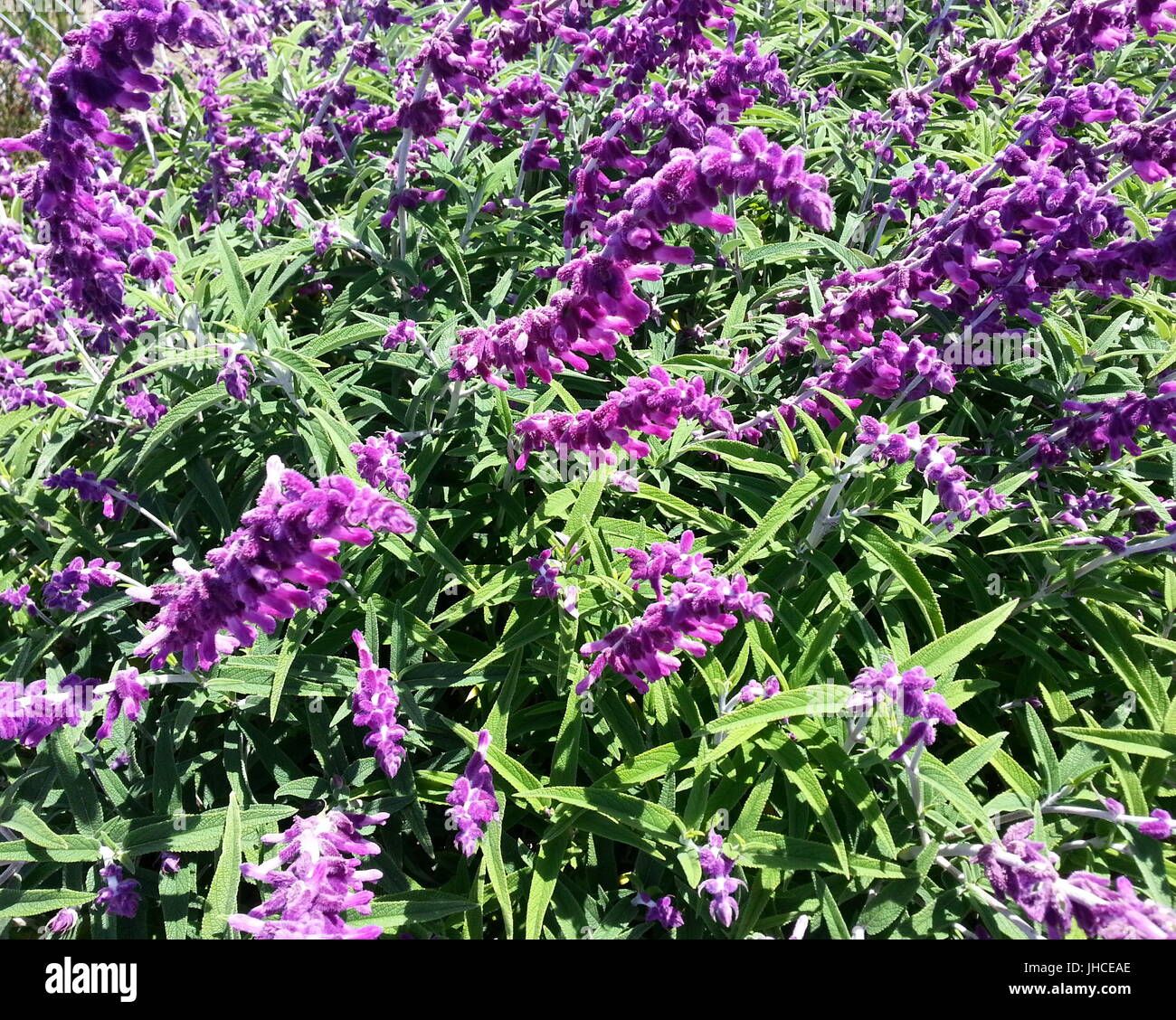 Elongated Purple Flower - Stock Image