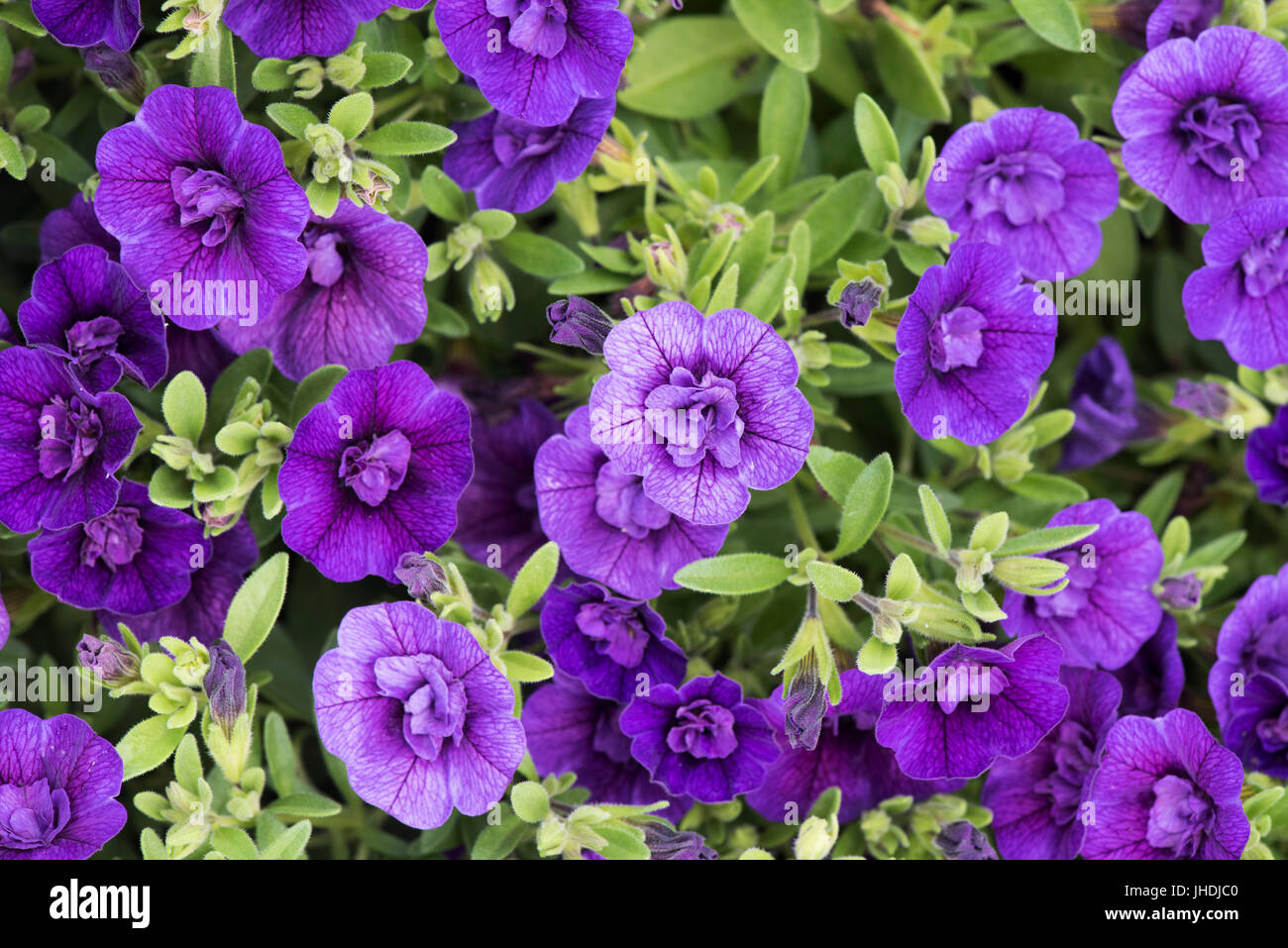 Calibrachoa caloha 'Double blue'. Mini Petunia flowers in hanging baskets. UK - Stock Image