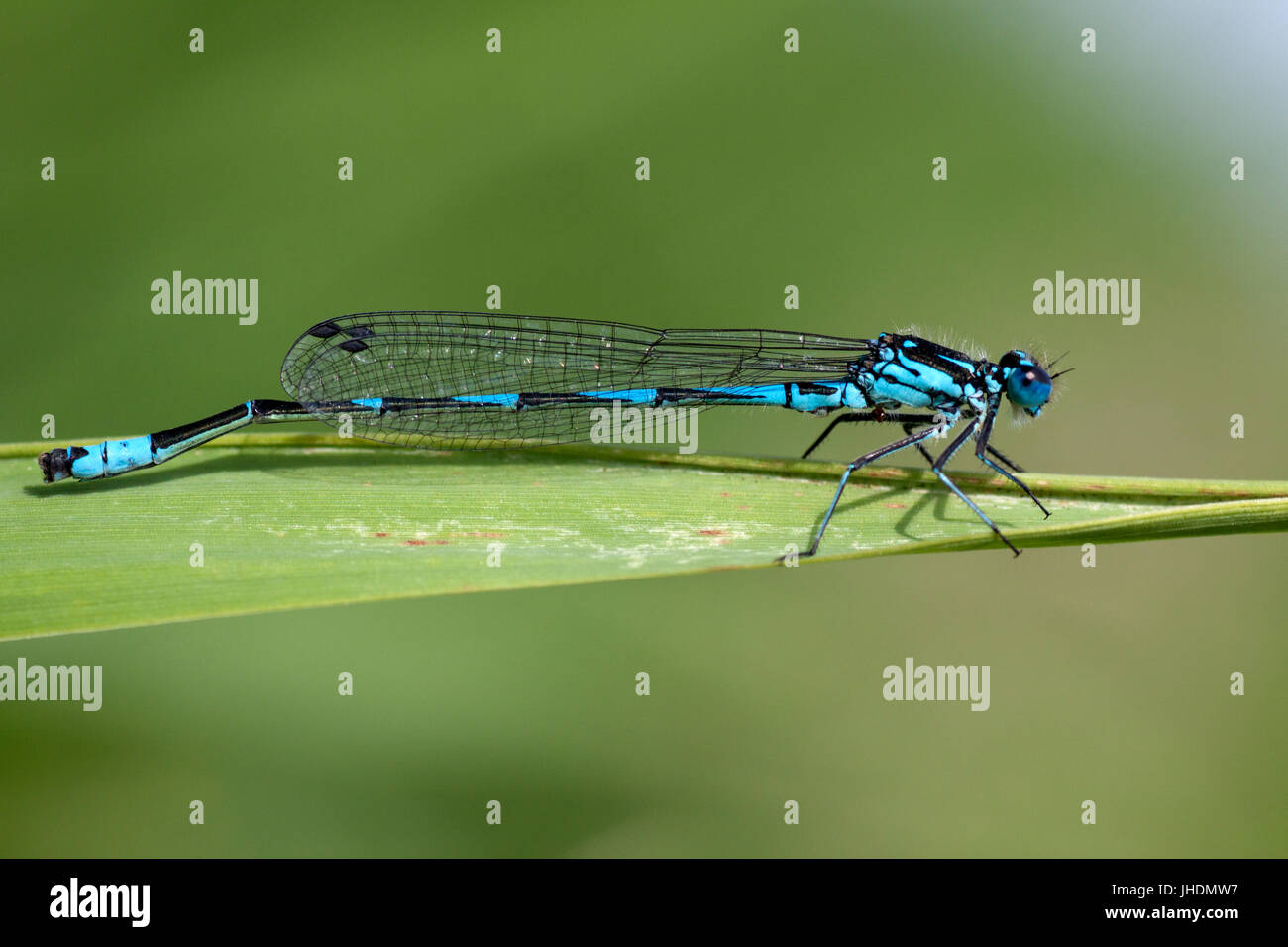 Blue dragonfly insect closeup macro on green background.  Photo taken with 90 mm macrolens. Stock Photo