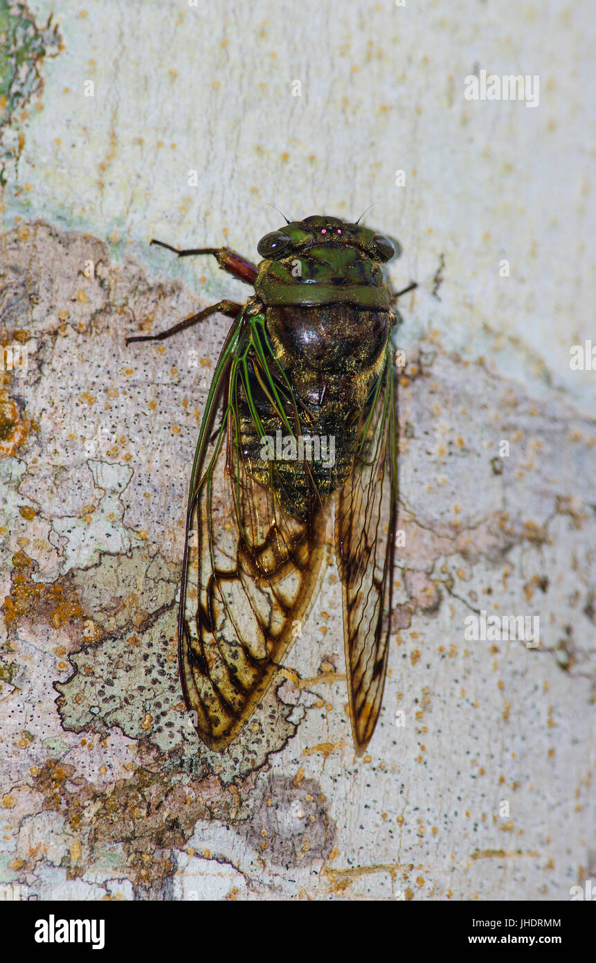 Cicada insect close up image with strong intense colors - Stock Image