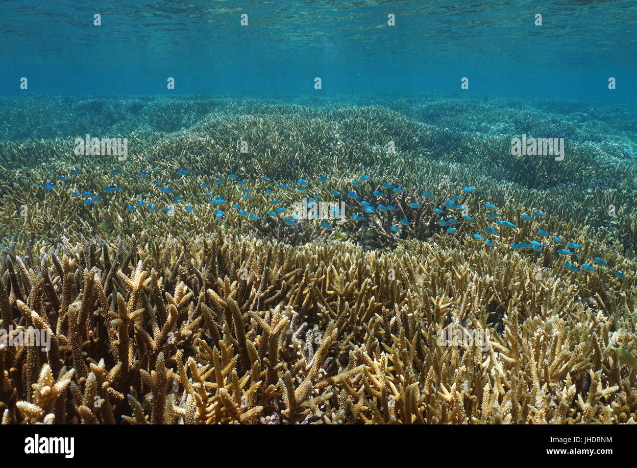 pristine shallow coral reef with staghorn corals and a school of