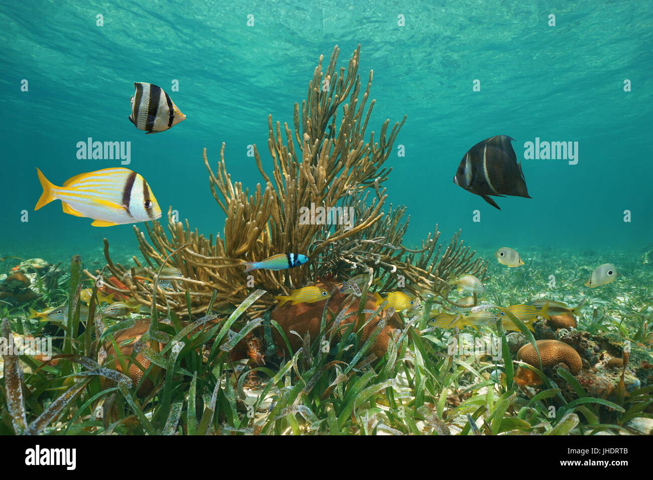 Underwater marine life with fish and coral in the Caribbean sea, Greater Antilles, Cuba Stock Photo