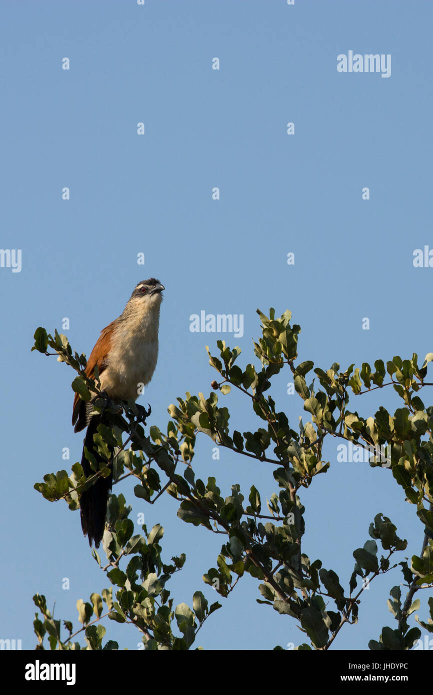 Zambia, South Luangwa National Park. White-browed coucal or lark-heeled cuckoo (Centropus superciliosus), is a species - Stock Image