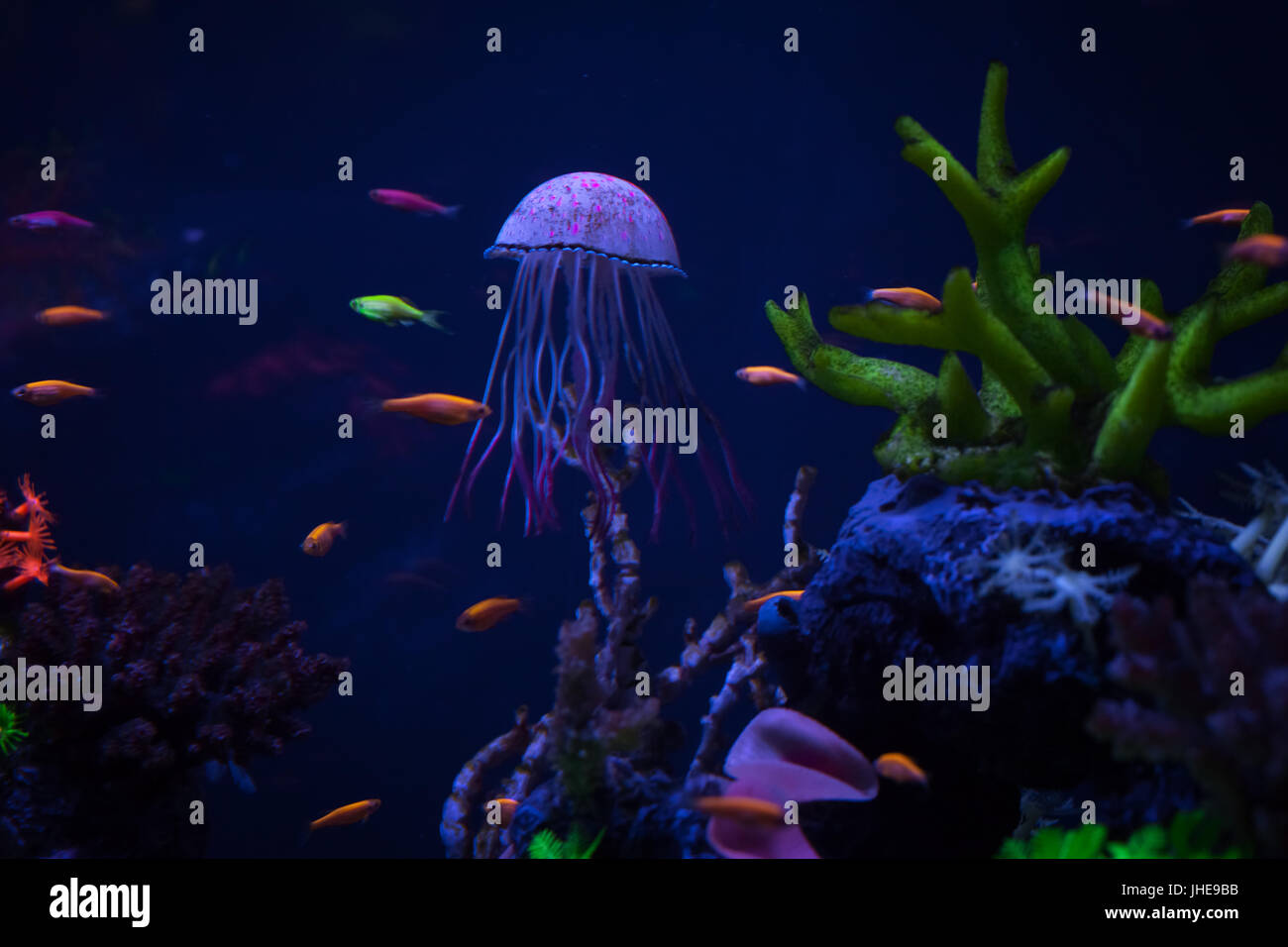 Beautiful jellyfish under water among corals, close up - Stock Image
