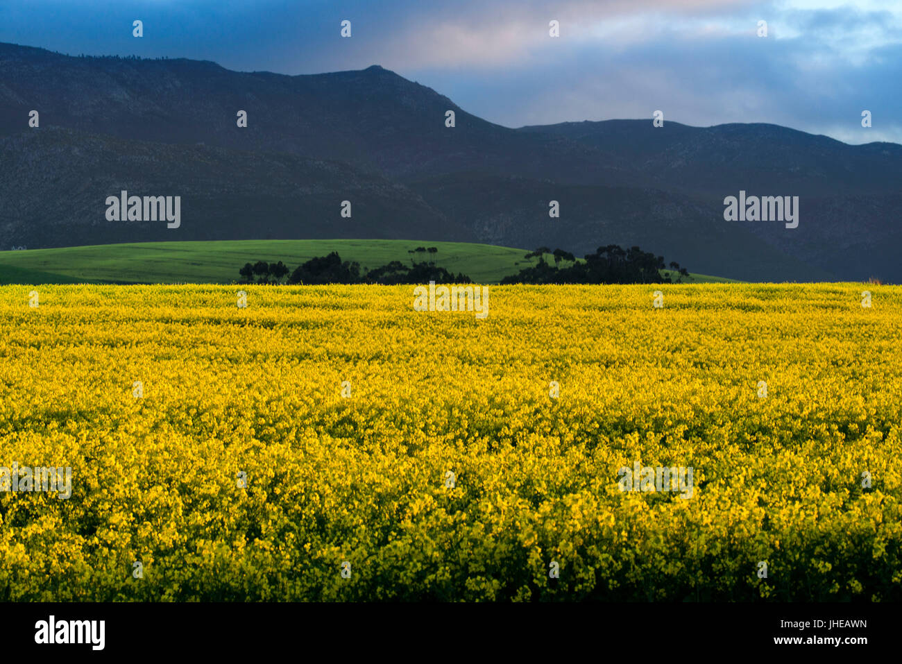 Extensive fields of canola yellow flowers between hermanus and cape extensive fields of canola yellow flowers between hermanus and cape agulhas western cape south africa mightylinksfo