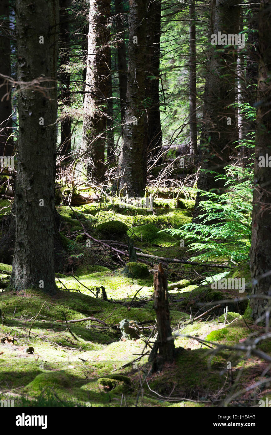 Moss Covered Ground in a Conifer Tree Lined Forest at Kielder Northumberland England United Kingdom UK - Stock Image