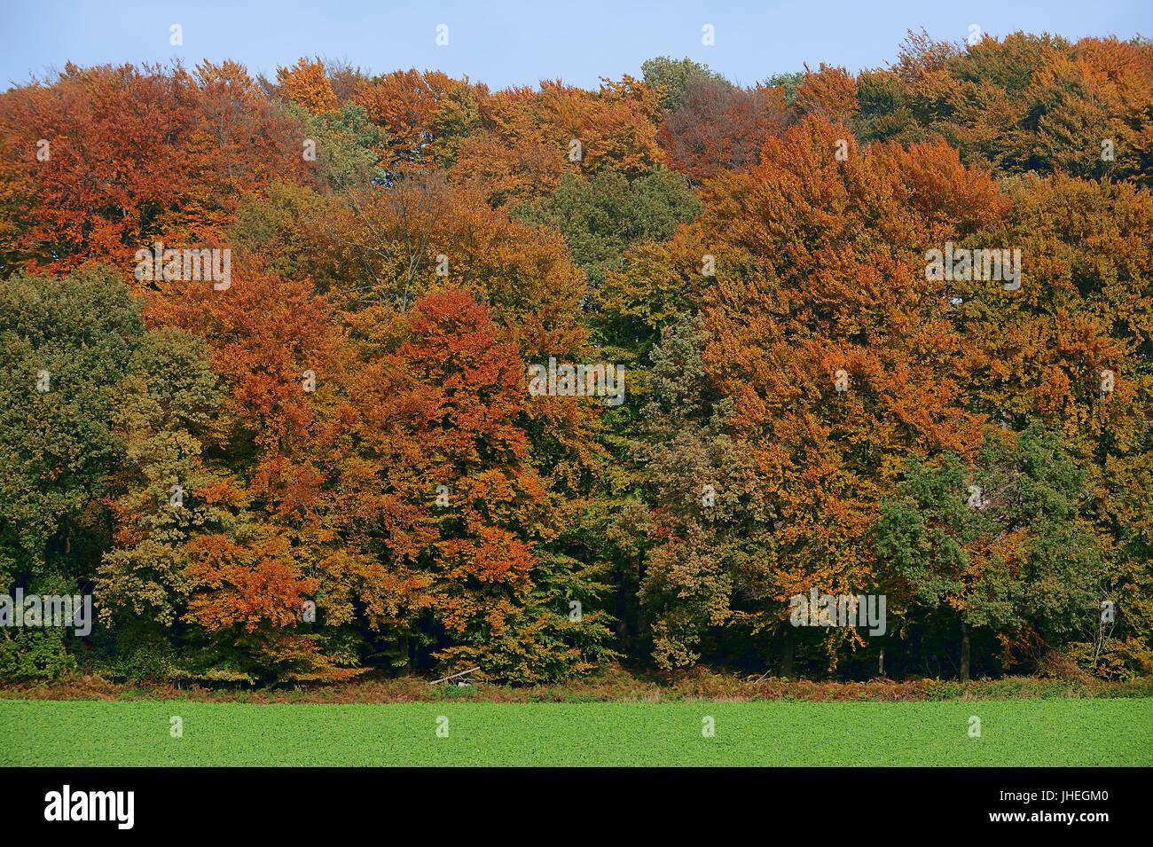 Deciduous forest in autumn, North Rhine-Westphalia, Germany | Laubwald im Herbst, Nordrhein-Westfalen, Deutschland - Stock Image