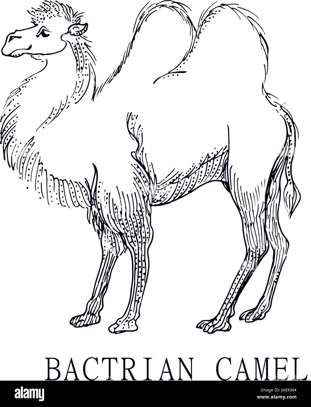 Bactrian camel, Illustration sketch of Camelus bactrianus, for children coloring - Stock Vector