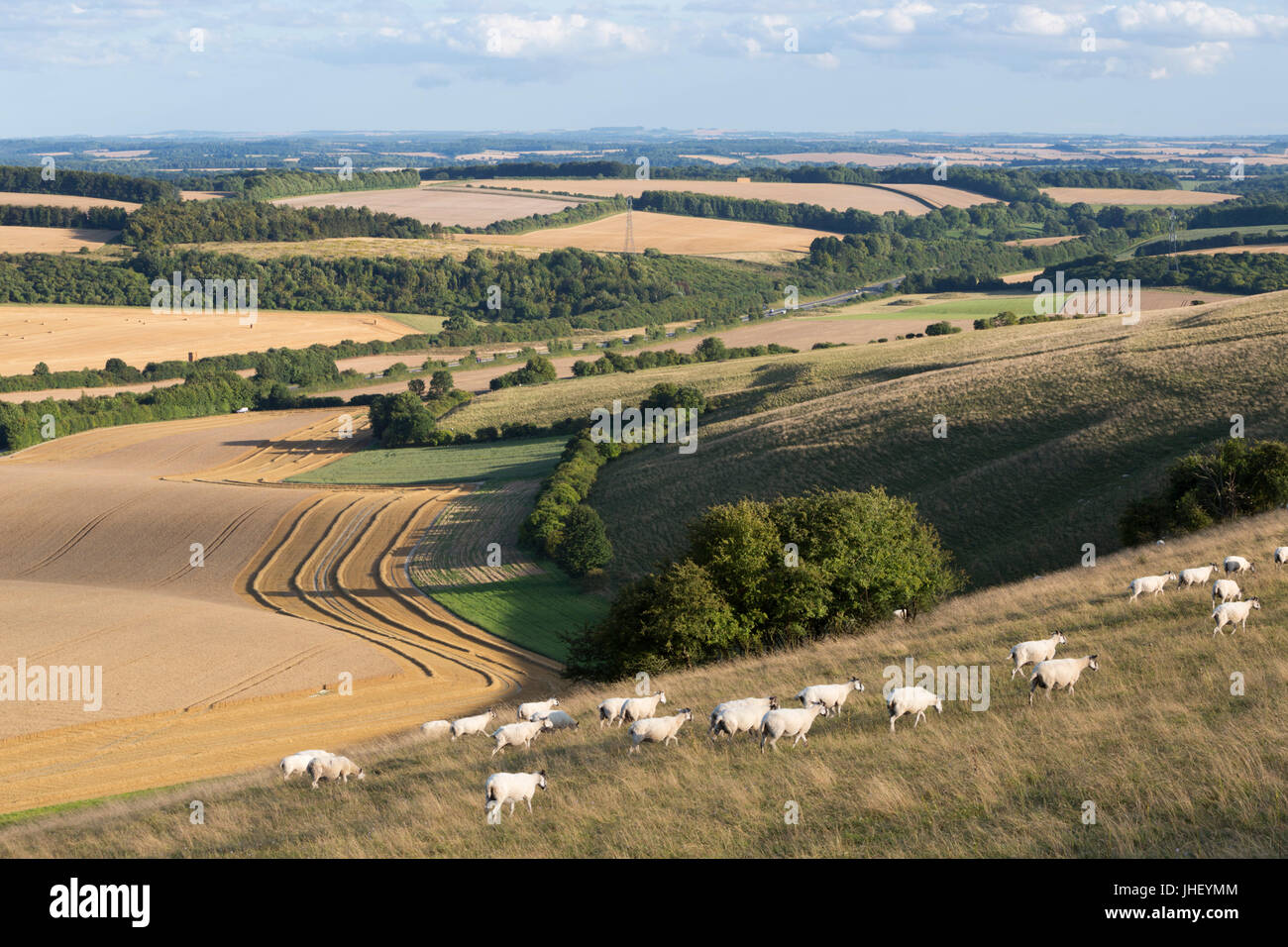View over summer wheat fields and sheep from top of Beacon Hill, near Highclere, Hampshire, England, United Kingdom, - Stock Image