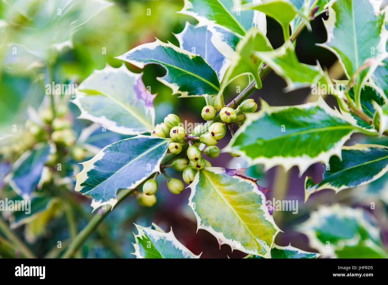 gardening holly (Ilex aquifolium Aureomarginata). Leaves and fruits. - Stock Image