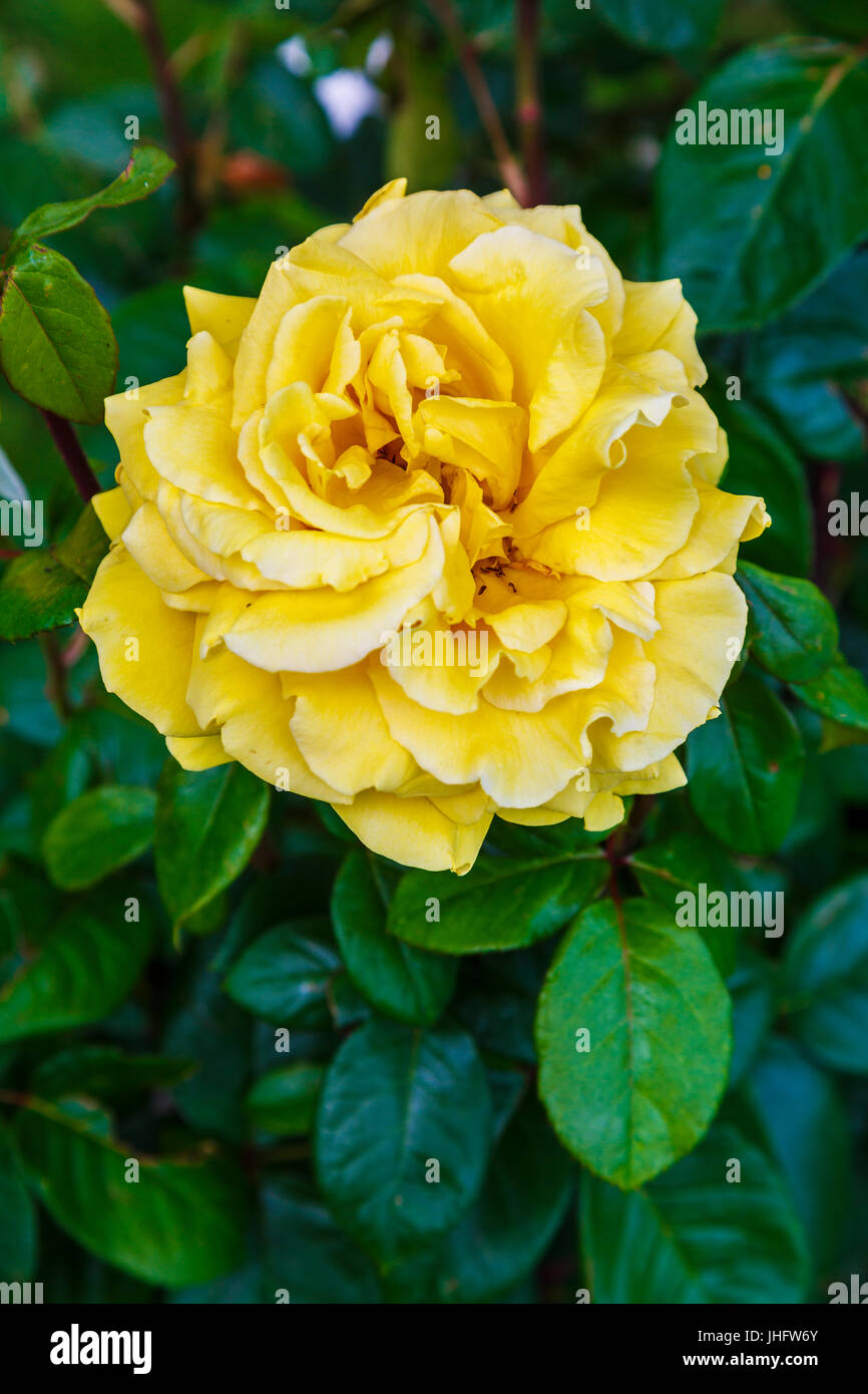 gardening rose. - Stock Image