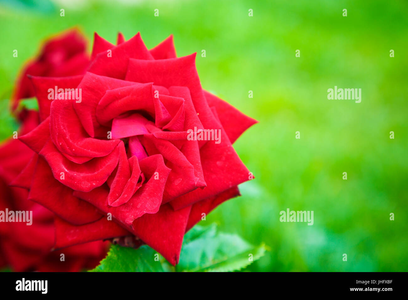 gardening red rose. - Stock Image