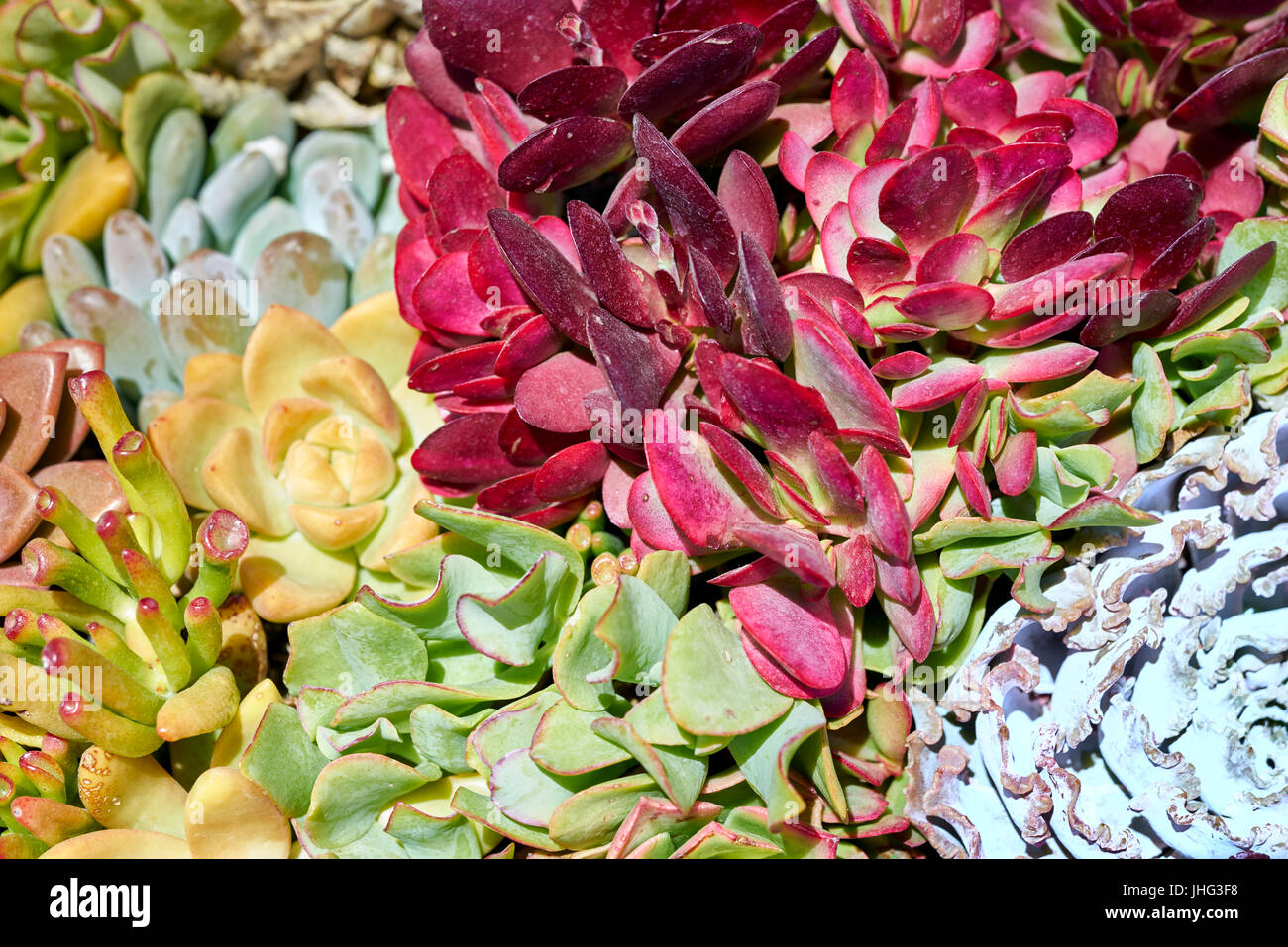 Variety of succulents in a drought-tolerant environment - Stock Image