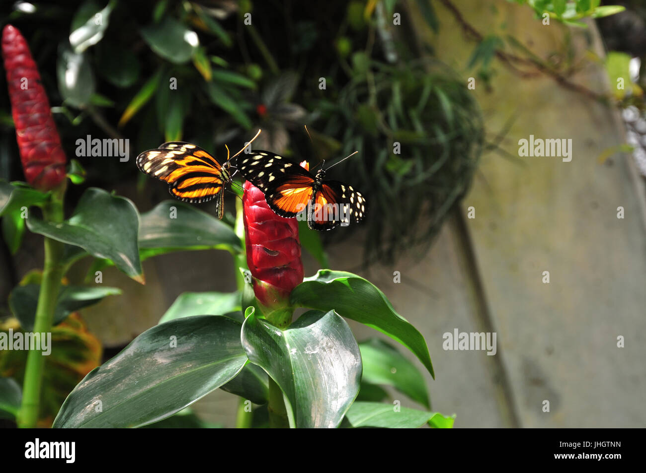 Butterfly on the Red Flower - Stock Image