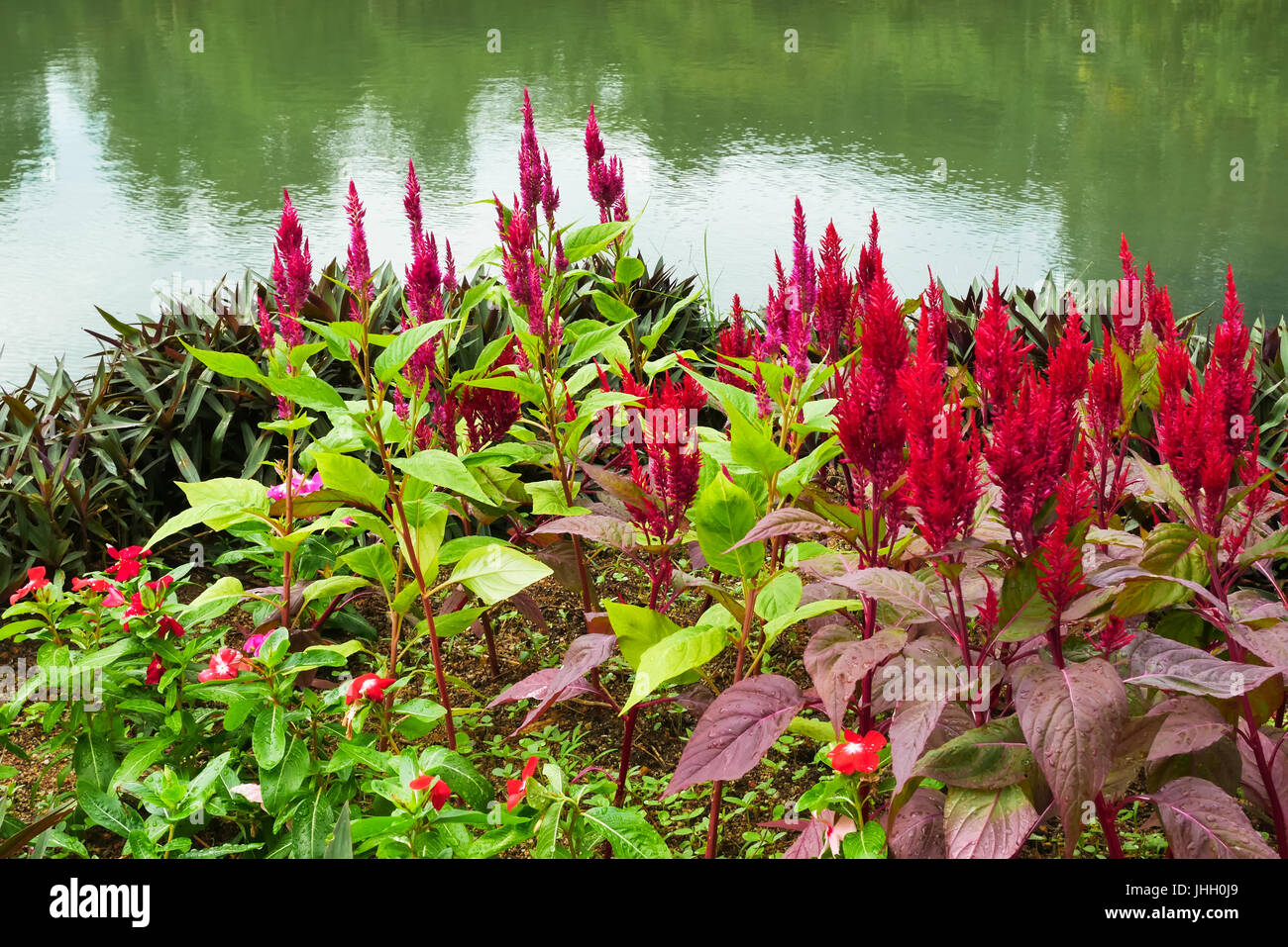Beautiful Celosia Argentea flowers blossom in the garden. It also known as Red plumed cockscomb flowers. - Stock Image