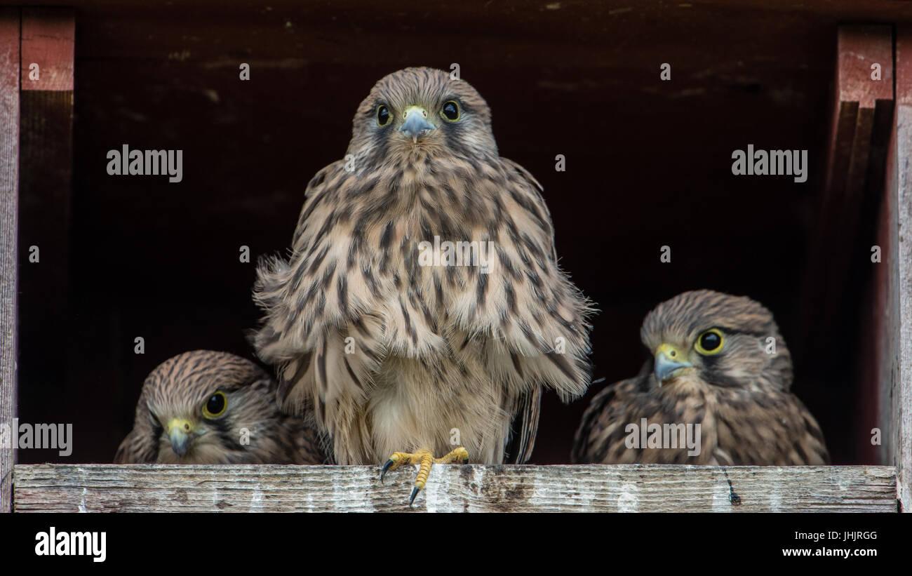The three remaining nestlings in the Kestrel's (Falco tinnunculus) nest box. - Stock Image