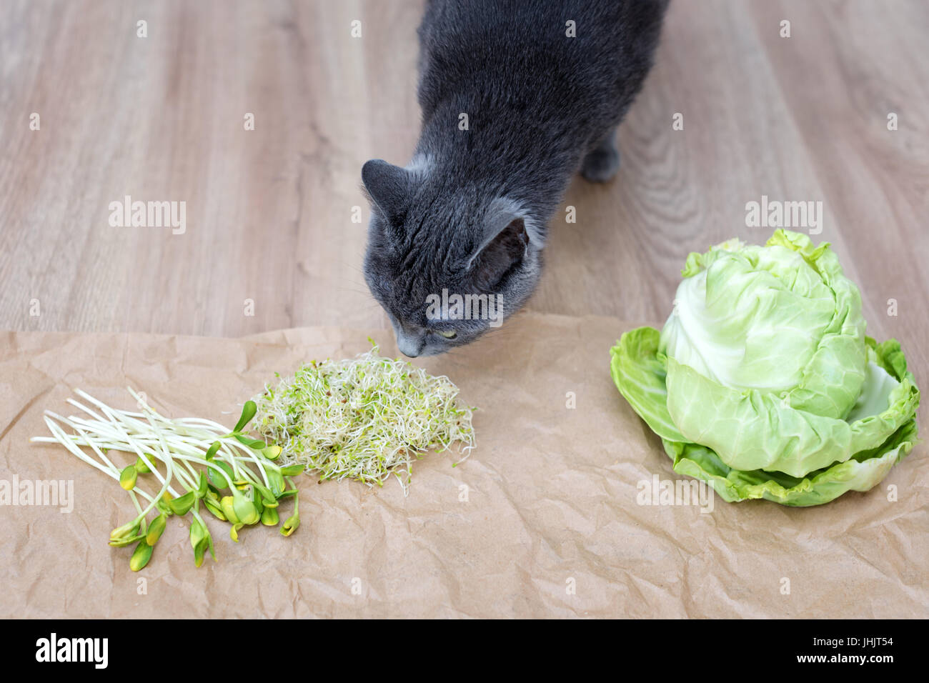 Gray cat sniffing food, green cabagge and micro greens. Cutted microgreens on crumpled craft paper. Healthy eating - Stock Image