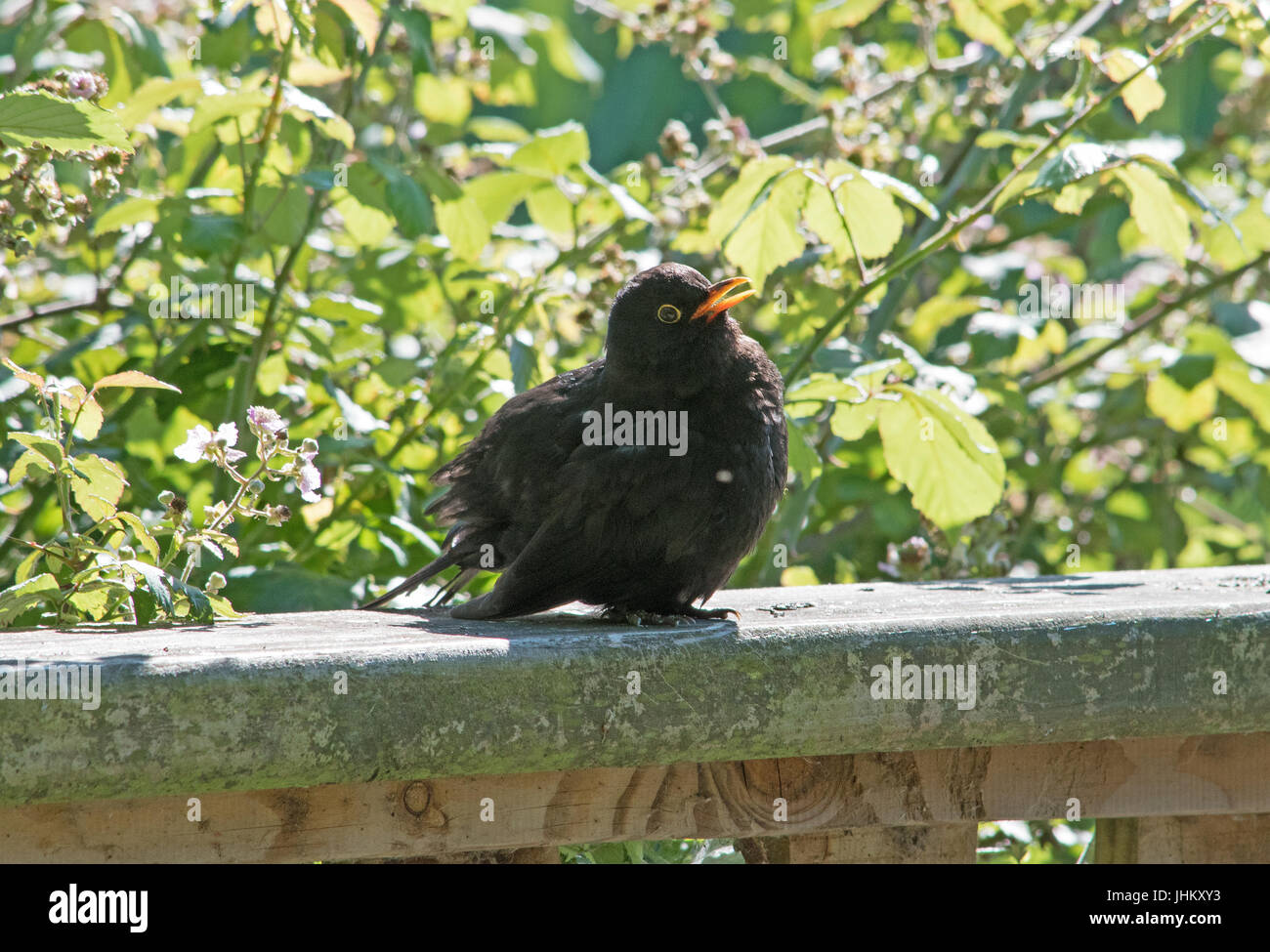 Blackbird Basking - Stock Image