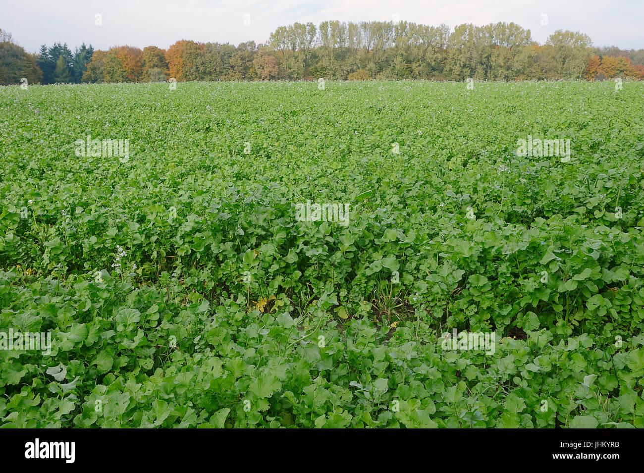 Field with Garden Radish, North Rhine-Westphalia, Germany / (Raphanus sativus) / Cultivated Radish | Feld mit Garten - Stock Image