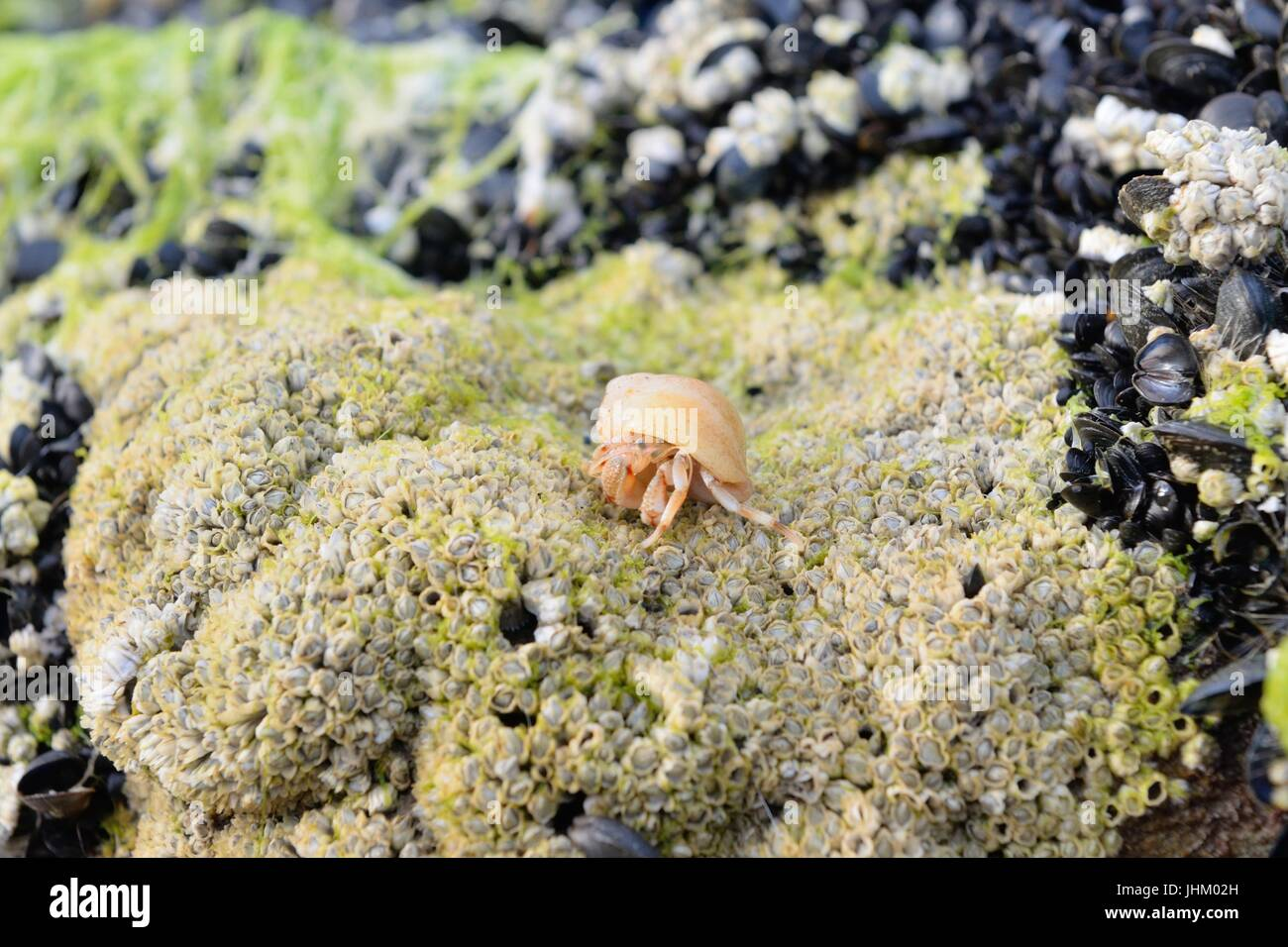 A hermit crab crawls over a rock covered in crustaceans on Dornoch beach, Sutherland, Scotland, UK - Stock Image