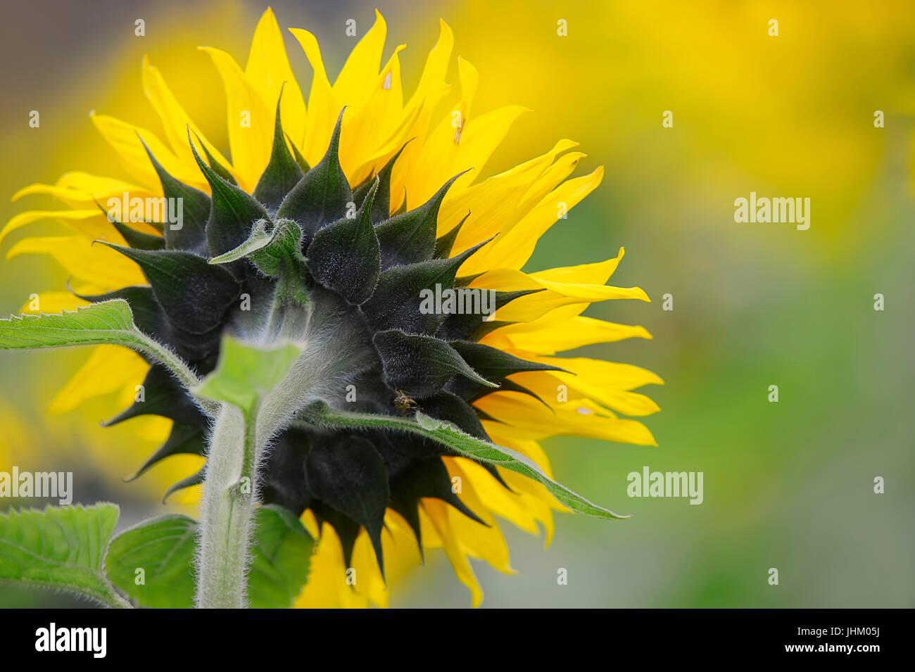 Sunflower, North Rhine-Westphalia, Germany / (Helianthus annuus)   Sonnenblume / (Helianthus annuus) - Stock Image